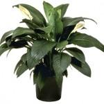 Augalai namie – gražu ir naudinga