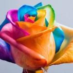 Vaivorykštės spalvų rožės namams