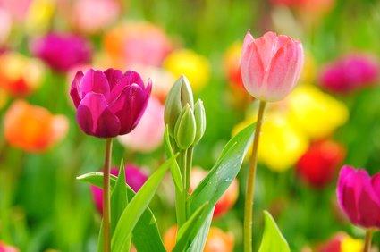 violetines geltonos tulpes